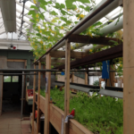 aquaponics in old floral shop greenhouse
